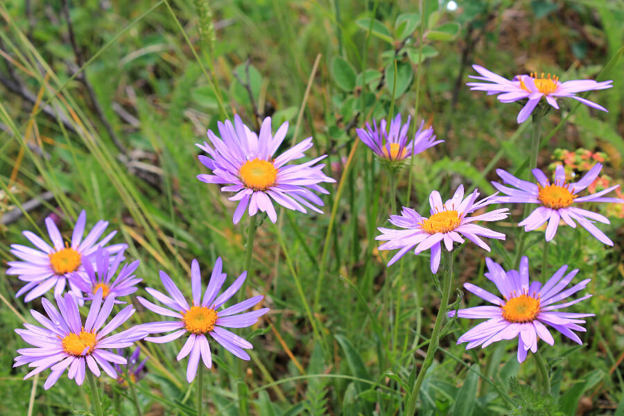 wildflowers of the bernese oberland | aster alpinus