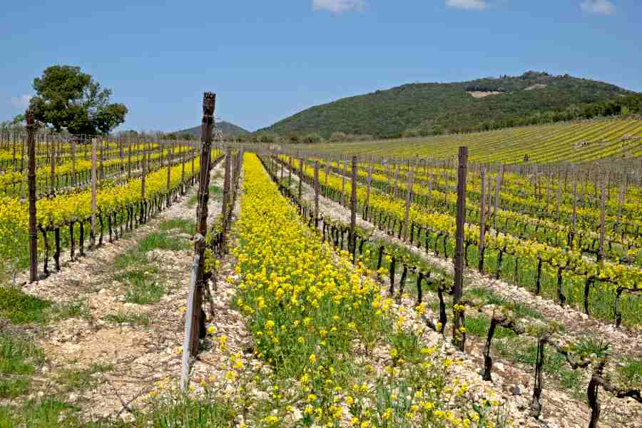 gems of tuscany - vineyards in spring